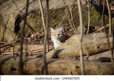 Hidden lynx cub. Lynx Lynx.