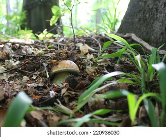 Hidden mushroom in forest leaves