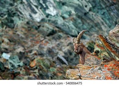 Hidden portrait of Alpine Ibex, Capra ibex, with coloured rocks in background, animal in the nature habitat, Italy.