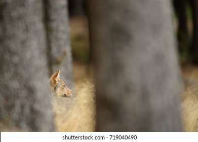 Hidden wolf cub head between trees and yellow grass