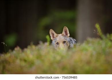 Hidden wolf in high grass inside forest