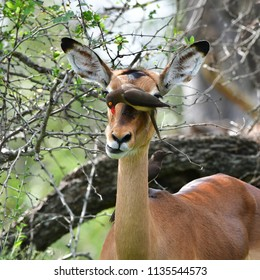 hide and coop,female of impala antelope in Kruger National park in South Africa