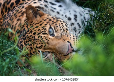 Hide javan leopard laying in the grass