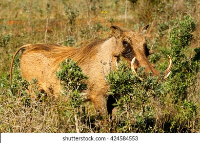 Hide Me -Phacochoerus africanus - The common warthog is a wild member of the pig family found in grassland, savanna, and woodland in sub-Saharan Africa.