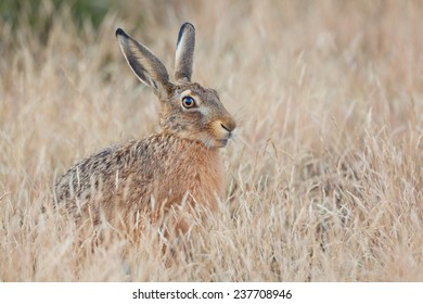 Hiding Hare sitting in the grass (Lepus europaeus).