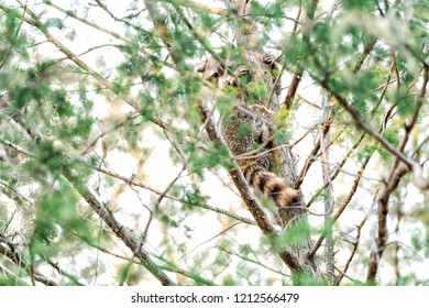 Hiding wild raccoon climbing pine tree trunk leaves, foraging, looking for food, hanging in outdoor park outside, outdoors, looking for forage, wildlife, paws, claws