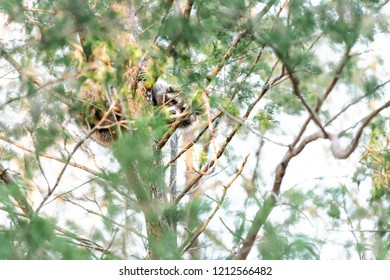 Hiding wild raccoon climbing pine tree trunk leaves, foraging, looking for food, hanging in outdoor park outside, outdoors, looking for forage, wildlife