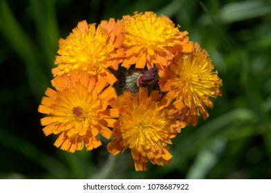 Hieracium aurantiacum; Pilosella aurantiaca (fox-and-cubs, orange hawk bit, devil's paintbrush, grim-the-collier)
