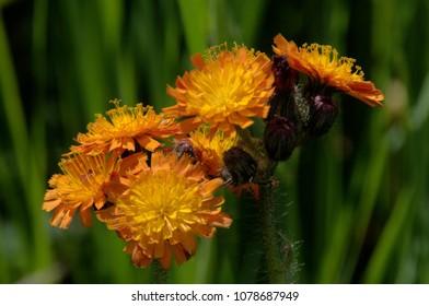 Hieracium aurantiacum; Pilosella aurantiaca (fox-and-cubs, orange hawk bit, devil's paintbrush, grim-the-collier)
