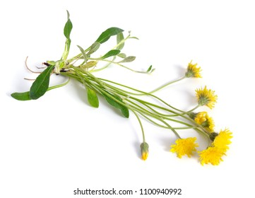 Hieracium pilosella (Pilosella officinarum), known as mouse-ear hawkweed. Isolated on white background.