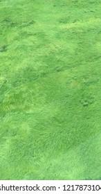 hierba japonesa cultivo at west java