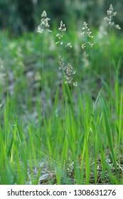 Hierichloe odorata - very rare wild grass