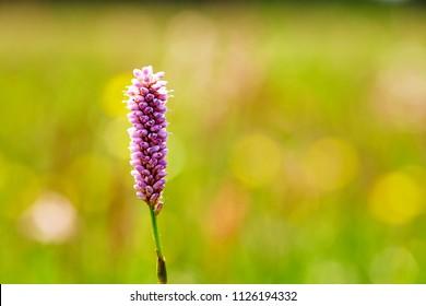 Hierochloe is a genus of plants in the grass family. Sweetgrass.