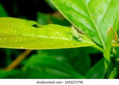 Black and White Grasshopper Images, Stock Photos & Vectors