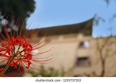 Higan Bana, a kind of flower