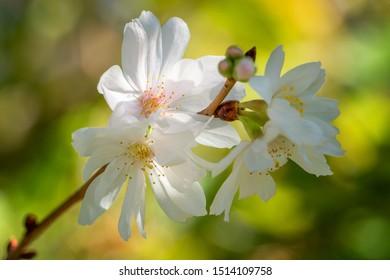 Higan cherry (Prunus subhirtella), close up of the flower head