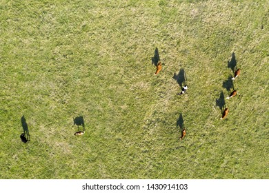 High above view of grazing cows with shade silhouettes