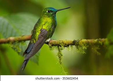 High altitude grass green glittering hummingbird with blue head and tail  Eriocnemis luciani Sapphire-vented Puffleg perched on mossy twig in cloud forest. Blurred green leaves in background.