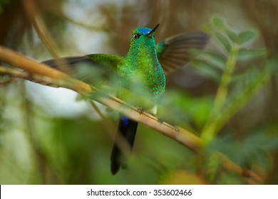 High altitude grass green glittering hummingbird Eriocnemis luciani Sapphire-vented Puffleg perched among leaves on mossy twig with outstretched wings. Blurred green forest in background.