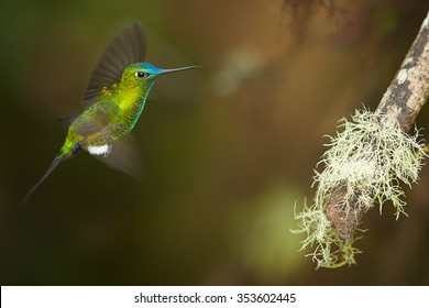 High altitude green glittering hummingbird with blue head and tail Eriocnemis luciani Sapphire-vented Puffleg hovering next to mossy branch in. Blurred distant green brown background.