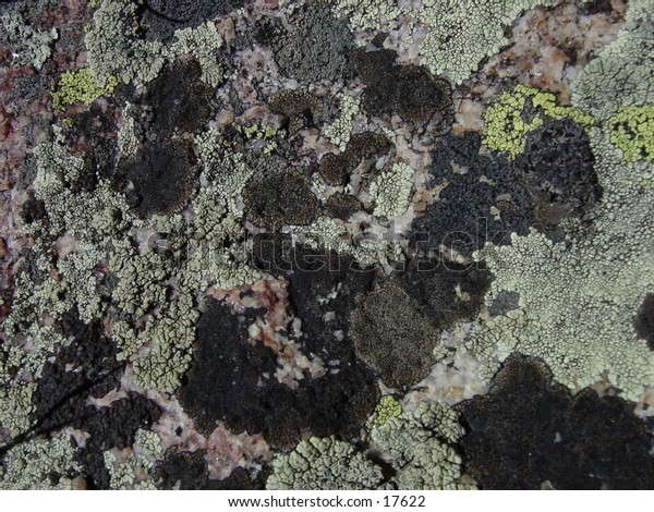 High altitude Lichens at 12,500 ft, near Needles Eye Tunnel, Indian Peaks Wilderness, Colorado