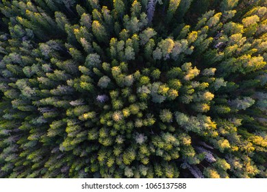High angle aerial view of green boreal forest aka taiga forest