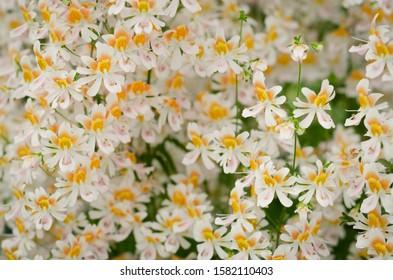 A high angle closeup shot of a field of beautiful Cretan crocus flowers