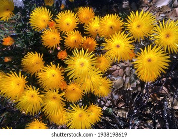 High angle close-up  view of a yellow midday flowers Lampranthus glaucus