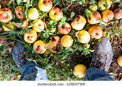 High angle, looking down, closeup view on many orchard fallen apples in garden in autumn fall, farm countryside in Virginia, rotten spoiled with man's shoes feet flat top looking down