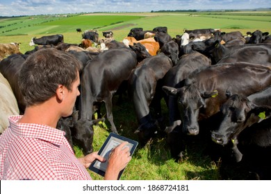 A high angle medium shot of a farmer from backside using a tablet while standing among cows in a sunny rural field.