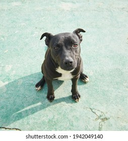 A high angle shot of an endearing black American Pitbull Terrier sitting on the concrete floor