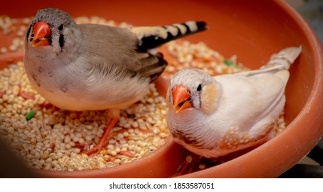 A high angle shot of zebra finch birds eating seeds on a bowl