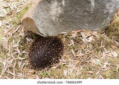 High angle view of Australian native animal Echidna hiding next to rock