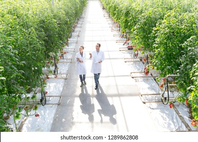 High angle view of colleagues examining tomato plants at greenhouse both are wearing lab coats