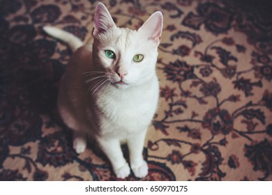 high angle view of a double colored eyes cat sitting on a carpet