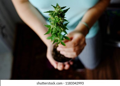 High angle view female holding small cannabis plant