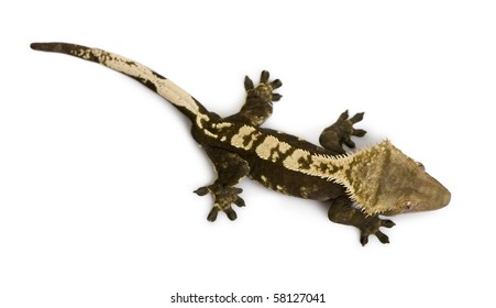 High angle view of New Caledonian Crested Gecko, Rhacodactylus ciliatus, against white background