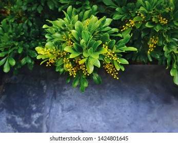 High Angle View of Plant with Bunch of Tiny Yellow Flowers with Selective Focus