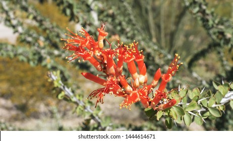 high angle view of red ocotillo cactus flowers