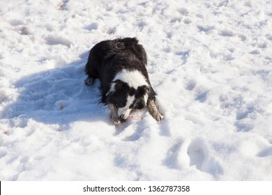 High angle view of sturdy border collie dog lying down licking its injured paw pad with drops of blood in the snow