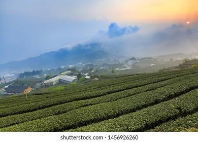 High Angle View of tea garden, Chiayi, Taiwan