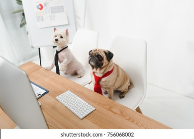 high angle view of two business dogs in neckties sitting at workplace
