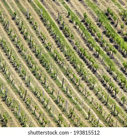 High angle view of a vineyard in the Chianti in Italy