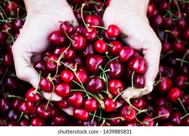 high angle view of a young caucasian man outdoors with a handful of ripe cherries in his hands, freshly collected on an organic orchard