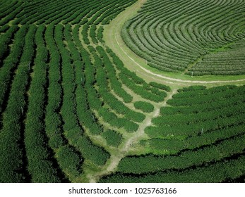 High angle view:Tea farm in Chiang Rai, Thailand.used for background / banner background.