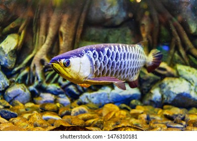 High Back Golden Arowana Fish view in close up in an aquarium