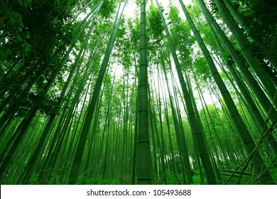 High Bamboo forest