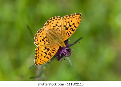 High Brown Fritillary (Argynnis adippe) feeding on thistle flowerhead, Sweden