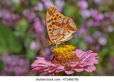High brown fritillary butterfly on zinnia flower