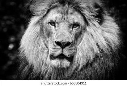 High contrast black and white of a male African lion face